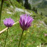 Ciboulette sauvage - Ur eta Lur, Canyoning, Spéléo et Randonnée